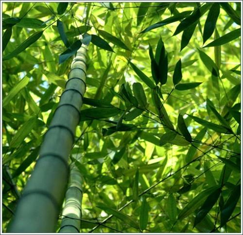 Бамбук ,целебные и биоэнергетические свойства