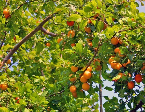 Абрикос, биоэнергетические и целебные свойства