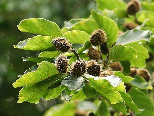 Бук, целебные и биоэнергетические свойства