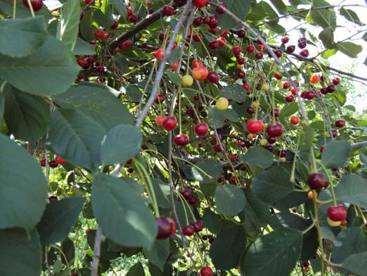 вишня,целебные и биоэнергетические свойства