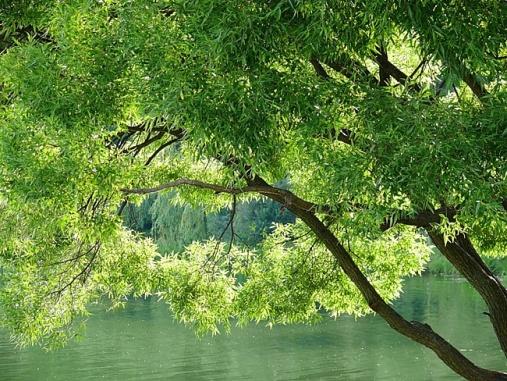 ива,магические и биоэнергетические свойства дерева