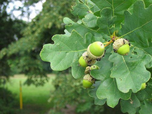 Дуб,магические и биоэнергетические свойства дерева
