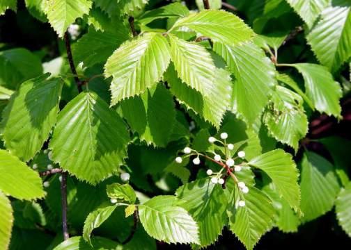 вяз,магические и биоэнергетические свойства дерева