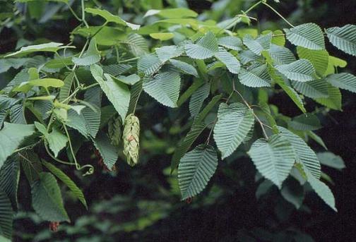 граб, лечебные и биоэнергетические свойства дерева
