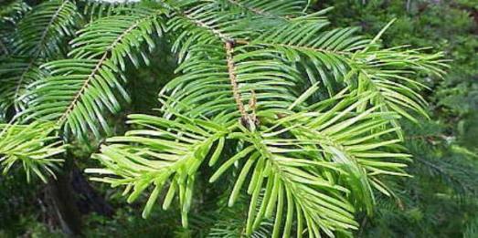 Пихта,целебные и биоэнергетические свойства дерева