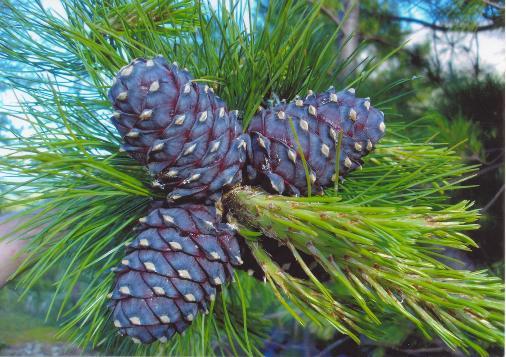 кедр,целебные и биоэнергетические свойства дерева