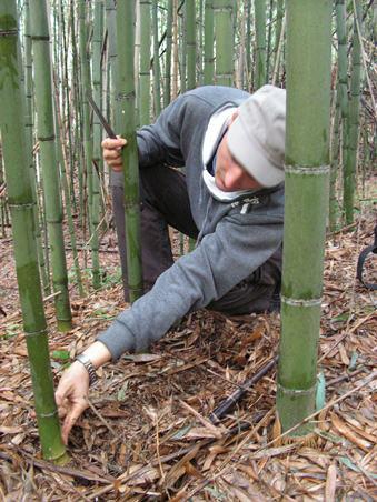 заготовка бамбука в Абхази