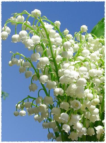 цветок ландыш купить